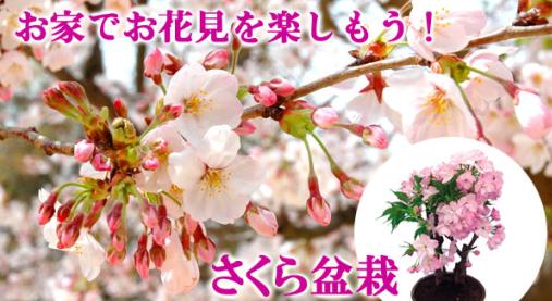 お家でお花見を楽しもう!!さくら盆栽